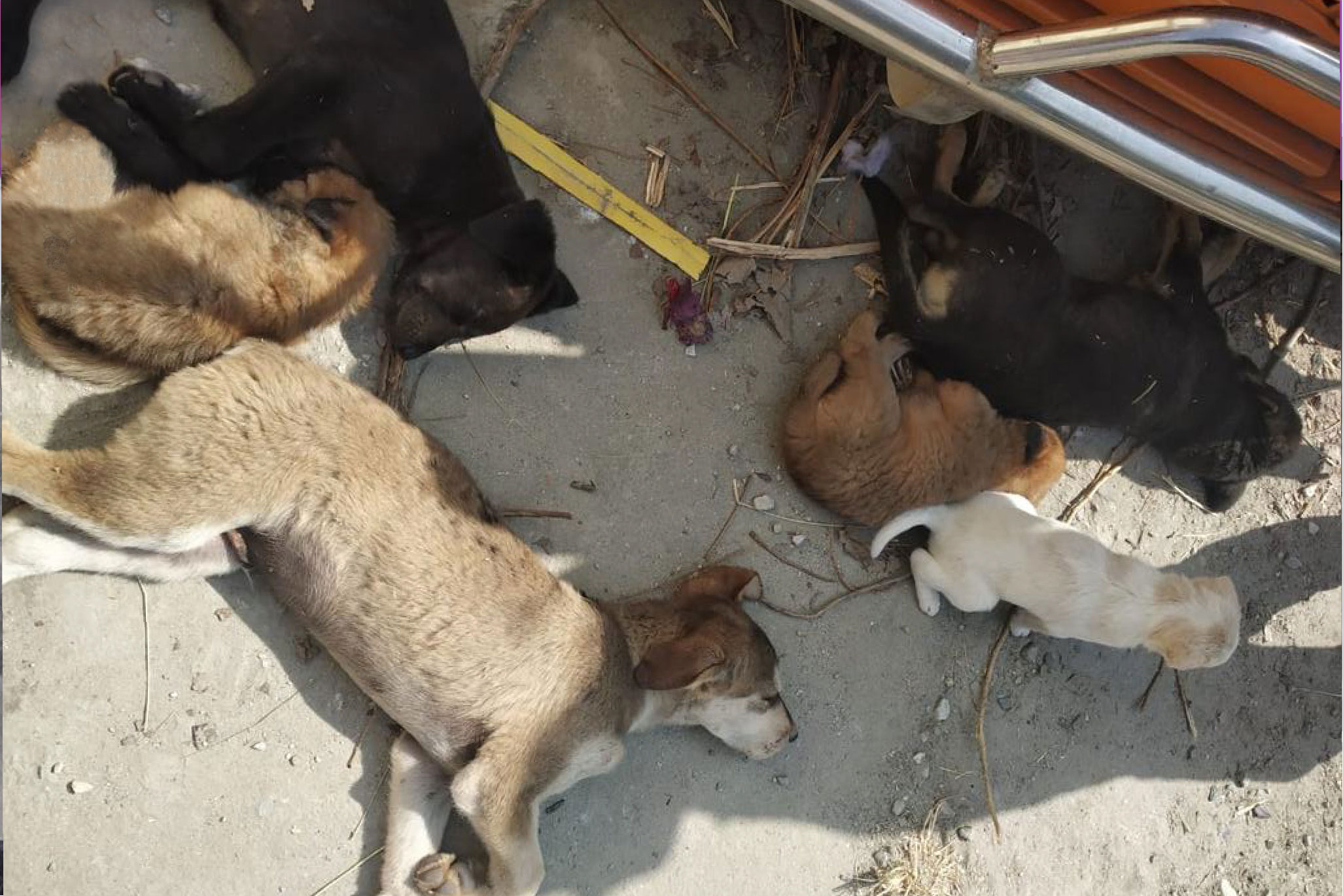 Stray dogs rescued 2